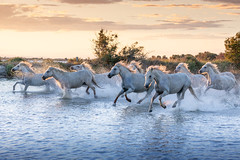 White Horses of Camargue (Dmytro Cherkasov) Tags: ifttt 500px lake standing water pond nonurban scene idyllic sunrise grass sunset horizon riverbank nature clear sky camargue horses saintlaurentdaigouze occitanie france