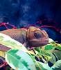 Chameleon (kovatsv) Tags: chameleon animalportrait animal reptile nature