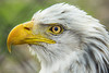 American Bald Eagle - Reelfoot Lake State Park (J.L. Ramsaur Photography) Tags: jlrphotography nikond7200 nikon d7200 photography photo tiptonvilletn westtennessee lakecounty tennessee 2018 engineerswithcameras americanbaldeagle photographyforgod thesouth southernphotography screamofthephotographer ibeauty jlramsaurphotography photograph pic tiptonville tennesseephotographer tiptonvilletennessee eagle baldeagle freedom symbol raptor birdofprey beak symbolofamerica bird animal haliaeetusleucocephalus seaeagle americaneagle nature outdoors macro macrophotography closeupphotography closeup dof depthoffield bokeh god'sartwork nature'spaintbrush reelfootlakestatepark statepark tennesseestatepark reelfoot reelfootlake established1956 reelfootlakepark park tennesseestateparks nationalbird nationalanimal usnationalbird usnationalanimal