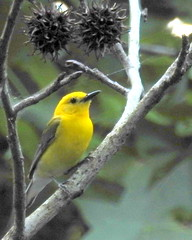 ProthonotaryWarbler (TerraPuella) Tags: warbler prothonotary bird tennessee spring woods