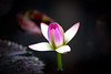 Pink Night Blooming Water Lily (tdorsz) Tags: water lily night blooming pink flower bud d810 nikon