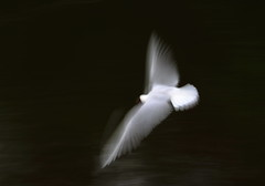 Ghost of a Black-headed Gull (jttoivonen) Tags: nature animal bird gull white abstract moving finland creativecommons flying motion