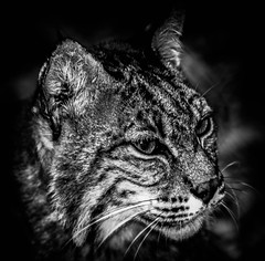 Louisiana Bobcat (_Lionel_08) Tags: bobcat louisiana cats zoo black white canon rebel t5