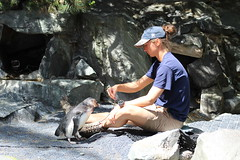 Playing with the Penguins (ashman 88) Tags: penguin sphenisciformes spheniscidae pointdefiancezoo cute hottie staff zoostaff bird tacomawashington may2018 zoo cutie