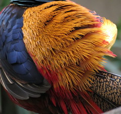 IMG_2190 (tcmwagner) Tags: chrysolophus pictus golden pheasant santa barbara zoo