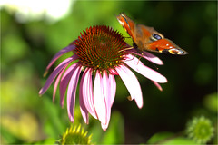 echinacea and peacock butterfly (atsjebosma) Tags: echinacea peacockbutterfly dagpauwoog vlinder nature natuur atsjebosma groningen thenetherlands summer zomer 2018 july juli coth5 ngc npc