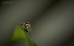 Jumping spider - _MG_4215 (gedaesal) Tags: jumpingspider canon700d sigma105mmf28macro closeup nopeople macrodreams macro ngc gedaesalgmailcom