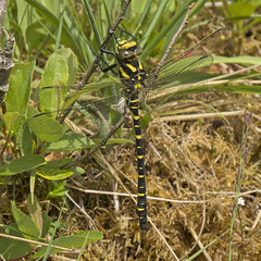 Golden-ringed Dragonfly (M) (JaneTurner68) Tags: goldenringeddragonfly dragonfly insect glasdrumwood glasdrum argyll scottishhighlands scotland canonsx50 canon