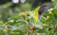 Rose-ringed Parakeet (X7C_1758-1) (Eric SF) Tags: roseringedparakeet parakeet kapiolanipark honolulu oahu hawaii