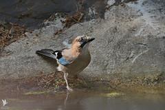 Jay - Gaio (anpena) Tags: birds corvids jay