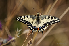 Schwalbenschwanz (Papilio machaon) (AchimOWL) Tags: schmetterling insekt insect tier tiere animal makro macro outdoor pflanze wiese dmcgh5 gh5 natur nature lumix panasonic tagfalter postfocus ngc macrodreams schärfentiefe wildlife stack fauna schwalbenschwanz ritterfalter papilionidae butterfly papilio gras