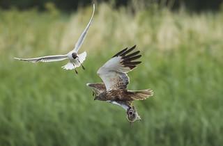 Marsh Harrier - Natures Values