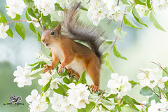 red squirrel reaching in jasmine branches (Geert Weggen) Tags: animal animalfamily backgrounds balance beautyinnature blossom botany branchplantpart cheerful closeup cute flower flowerhead fragility freshness greencolor growth herb herbalmedicine homeopathicmedicine honey horizontal insect jasmine meadow nature nopeople outdoors photography plantstem pollination red rodent smiling squirrel summer sweden tranquilscene uncultivated wildflower bispgården jämtland geert weggen ragunda