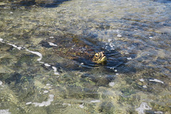 pool party (BarryFackler) Tags: turtle seaturtle greenseaturtle hawaiiangreenseaturtle marinereptile reptile carapace shell cmydas cheloniamydas tidepool honaunaubeachpark southkona honaunau honaunaubay seacreature animal being organism vertebrate beach beachpark shore seashore seaside lavarock coast water westhawaii ecology ecosystem tropical ocean outdoor island bigisland life polynesia pacificocean pacific marinelife marine marinebiology marineecosystem marineecology 2018 kona konacoast hawaii hawaiiisland hawaiicounty hawaiianislands fauna sea sealife sandwichislands seawater saltwater aquatic zoology nature barryfackler barronfackler bay biology