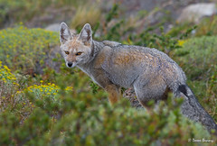 Grey Fox (Doreen Bequary) Tags: greyfox patagonia d500 nikkor200500mm chile