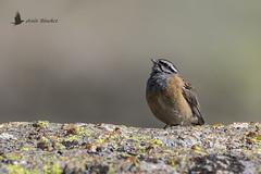 Escribano montesino (Emberiza cia) (jsnchezyage) Tags: escribanomontesino emberizacia ave pájaro bird birding birdwatching ornithology beak feather rockbunting