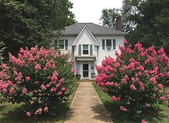 Crepe Myrtles are lookin' good (karma (Karen)) Tags: baltimore maryland trees crepemyrtles blossoms houses windows shutters roofs chimneys htmt hww topf25