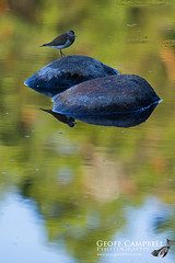 Common Sandpiper (Actitis hypoleucos) (gcampbellphoto) Tags: commonsandpiper actitishypoleucos wader shorebird reflection bird avian nature wildlife scotland gcampbellphoto water rock