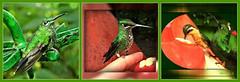 Puras Esmeraldas naturales: Colibríes. Costa Rica (☮ Montse;-)) OFF) Tags: colibries colibris costarica papá regalito