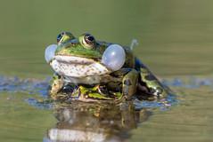 """Teichfrosch / Edible Frog  /Pelophylax """"esculentus"""" (jaaserud13) Tags: altstätten bannriet jaa naturereserve naturschutzgebiet nikond500 schollenmühle teichfroschediblefrogpelophylax""""esculentus"""" vereinproriet"""