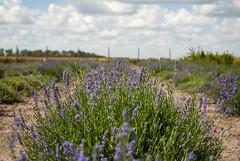 lavender field (Rambynas) Tags: lithuania lietuva lavender garden