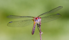 Female Blue Dasher (tresed47) Tags: 2018 201806jun 20180616homemacro bluedasher canon7d chestercounty content dragonflies folder home insects june macro pennsylvania peterscamera petersphotos places season spring takenby technical us