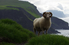 Sheep time on Mykines (Gregor  Samsa) Tags: north deepnorth faroe faroes faroeislands atlantic island islands archipelago hike hiking walk walking gree greenery vista viewpoint ram