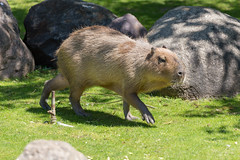 Capybara - Hydrochoerus hydrochaeris (marcoverch) Tags: fusball fusballwm moskau zoo fans animals football russland2018 deutschland wm2018 moskva russland ru mammal säugetier grass gras animal tier nature natur wildlife tierwelt wild noperson keineperson fur pelz park outdoors drausen hayfield heuhaufen farm bauernhof dog hund field feld cute niedlich head child bicycle cielo windows landschaft pose event pool coth5 capybara hydrochoerushydrochaeris