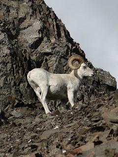 Alaska Dall Sheep Hunt & Moose Hunt 38