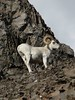 Alaska Dall Sheep Hunt & Moose Hunt 38