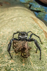 Jumping spider (Salticidae) with Wolf spider (Lycosidae) - DSC_2928 (nickybay) Tags: bugshot mozambique gorongosa macro africa cctv wideangle