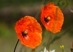 Poppies (p.mathias) Tags: flower flowers plant poppy poppies scotland edinburgh scottish europe red unitedkingdom sony a5100
