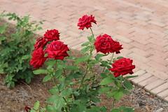 Bellingrath Gardens and Home 2018 rose garden Ingrid Bergman (MJRGoblin) Tags: mobilecounty 2018 theodore alabama unitedstates usa