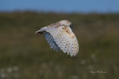 Barn Owl. (shaunmcdonagh) Tags: birds barnowl owl owls northumberland nature northeast creswell