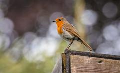 Robin (Matt Bigwood) Tags: robin wildbird wildlife nikond500 nikon80400