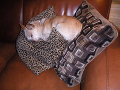 ♪ Wake up Maggie I think I got something to say to you...♫ (candyruth) Tags: maggie chihuahuax comfy cozy goofy 9lbs 10yrsold