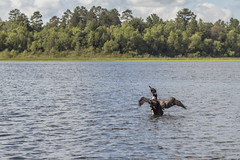 Common Loon (Sam Wagner Photography) Tags: common loon fishing summer afternoon wilderness wildlife lake water action wild animal hunting gaviaimmer great northern diver nature landscape zoom close up minnesota central midwest travel
