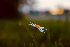 Early Evening Softness (Haytham M.) Tags: bokeh canada ontario grass green field light daisy soft afternoon dusk flower