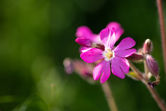 Bright Campion (oandrews) Tags: 30dayswild canon canon70d canonuk flora flower flowers garden meadow nature norfolk outdoors petals pink plant plants redcampion redcatchfly silenedioica thursford england unitedkingdom gb