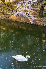 Swan in the Kurashiki Canal (pixontrips) Tags: bikanhistoricalquarter canal japan kurashiki animal asia bird blacktiles building cherryblossom cherrytree swan wall warehouse water white whitewall willowtrees