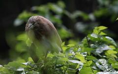 Giovane (lincerosso) Tags: uccelli birds ardeidae aironi sgarzaciuffetto ardeolaralloides laguna palude predatore bellezza armonia apprendistato