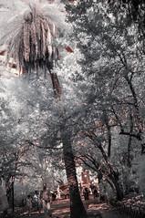 Infrapalm (HarrisGkioulistanis) Tags: ir infrared irphotography filter infratest nikon d90 kolarivision 590nm infrapalm palm palmtree tree street park athens greece