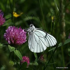 IMG_2506. Black-veined White | Aporia crataegi (Nick Ransdale (http://www.nick-ransdale.com/)) Tags: aporiacrataegi blackveinedwhite