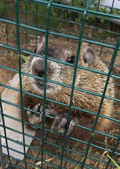 Uninvited visitor (Foxy Belle) Tags: mammal fur groundhog dig cage claws have heart teeth