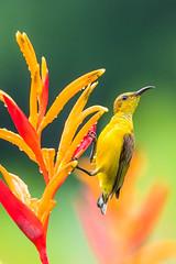 sunbird (EdgarJi) Tags: bird nature animal