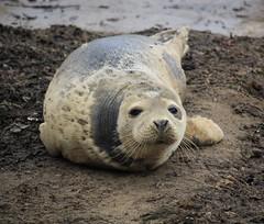 Runswick Bay (Dickie-Dai-Do) Tags: runswickbay seal sea beach northyorkshire coast fishing basking grey rnli halichoerusgrypus greyseal