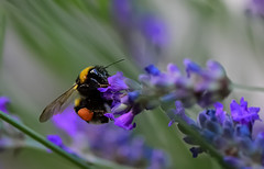 Of the bees...... and flowers...... (pasquale di marzo) Tags: flowers fiori lavanda ape insetto viggiano montagna colore macro 2018