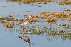 NGID823936409 (naturgucker.de) Tags: ngid823936409 dunklerwasserläufer regenpfeiferartige schnepfenvögel tringa vögel wirbeltiere