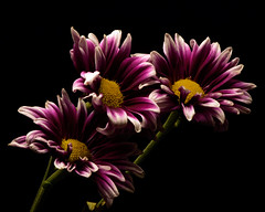 Leading 1010 (Tjerger) Tags: nature beautiful beauty black blackbackground bloom blooming blooms closeup fall flora floral flower flowers green macro mum plant portrait purple three trio white wisconsin yellow mums leading natural group bunch