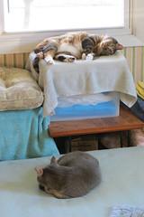 Gracie and Millie 3 July 2018 9974Ri 4x6 (edgarandron - Busy!) Tags: gracie patchedtabby millie graytabby cat cats kitty kitties tabby tabbies cute feline